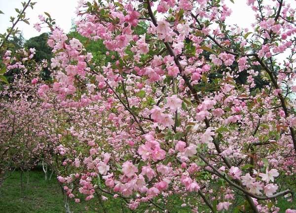 海棠花什么时候开花?
