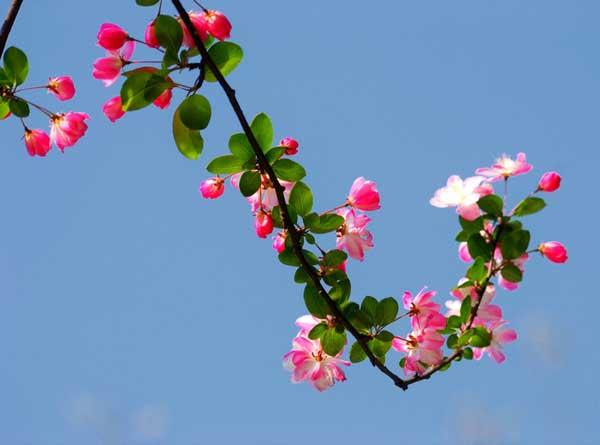 海棠花有毒吗?