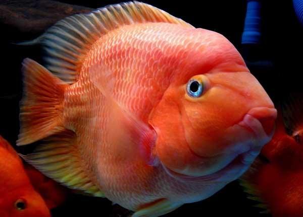 鹦鹉鱼常见病的治疗方法