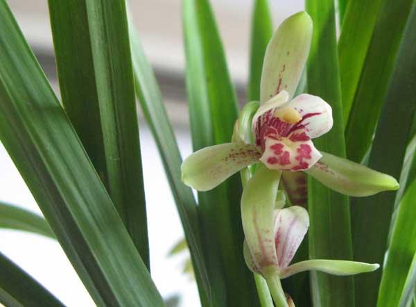 兰花的品种鉴别方法