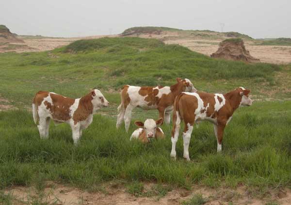 母牛不孕症的治疗方法