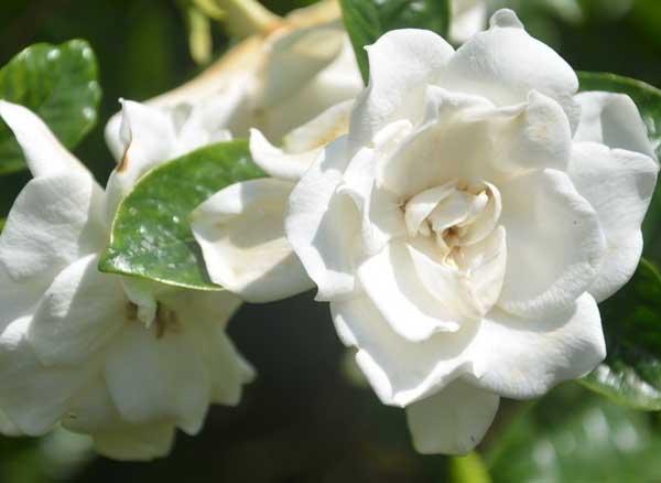 栀子花的花语是什么?