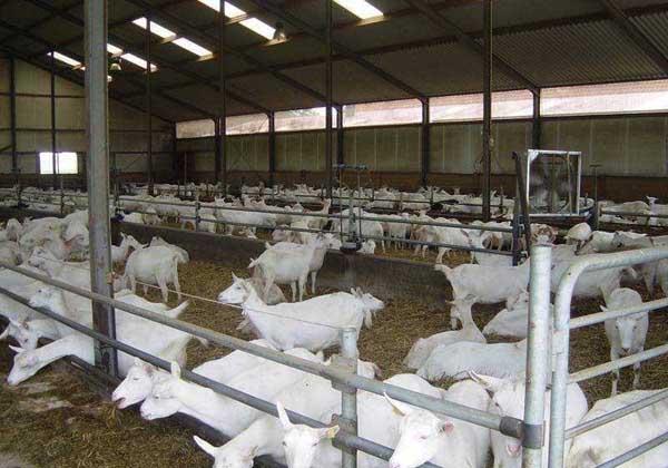 如何养羊能赚钱?