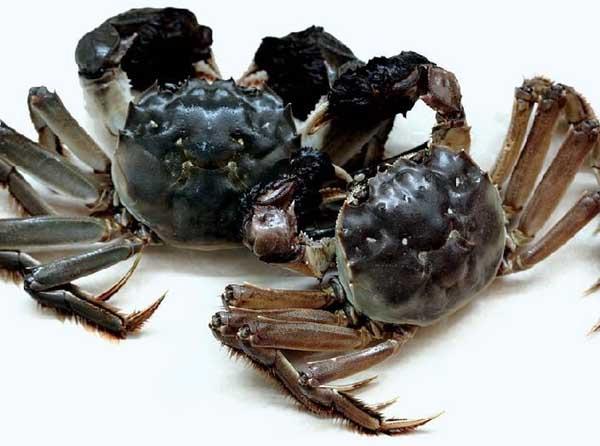 阳澄湖大闸蟹的鉴别方法