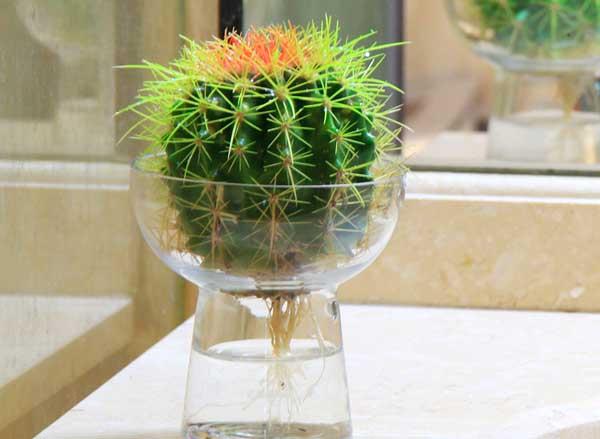 仙人球水培养殖方法