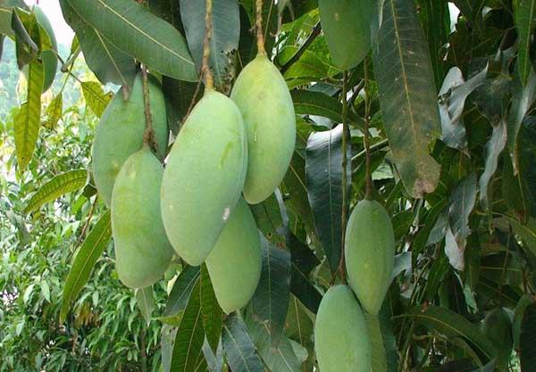 芒果的种植条件