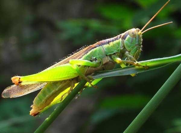蝗蟲特種養殖:蝗蟲飼養前景怎么樣?