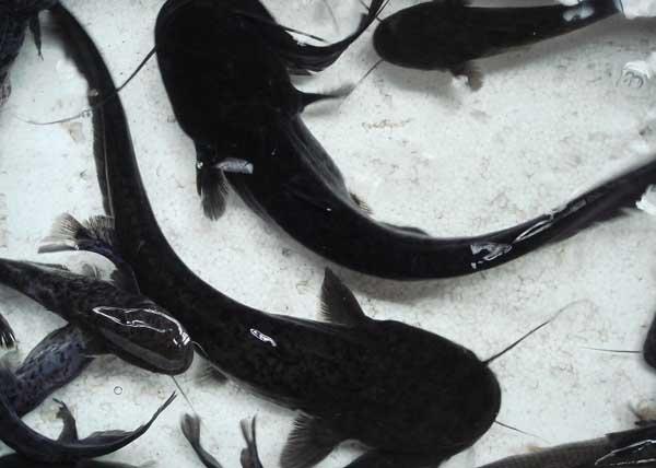 鲶鱼养殖技术