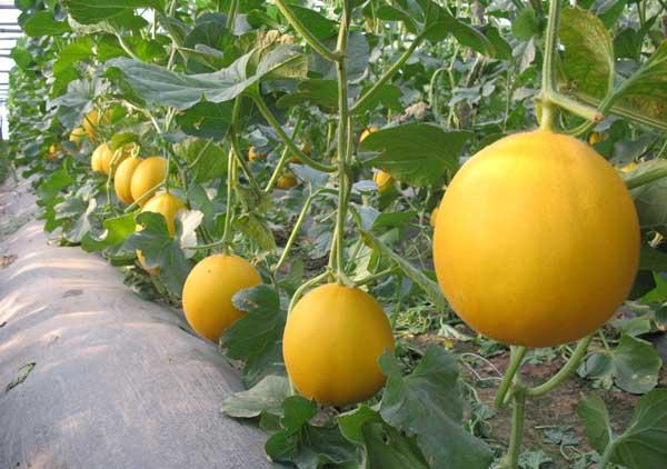 香瓜的功效与作用及禁忌
