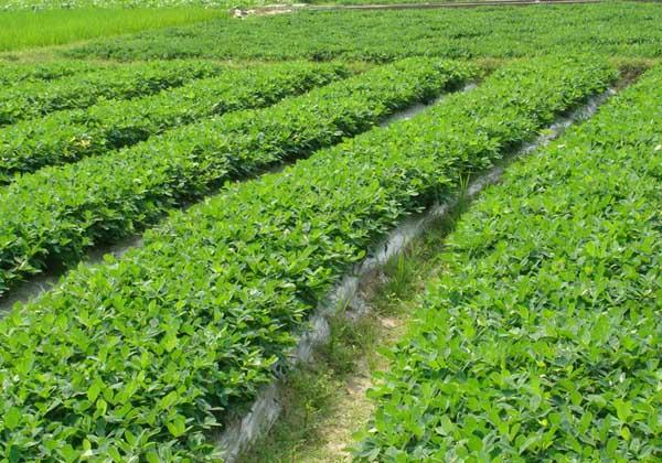 花生种植技术