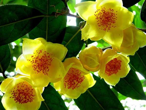 金花茶种植技术