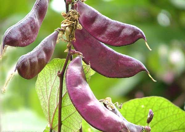 扁豆的功效与作用及食用方法