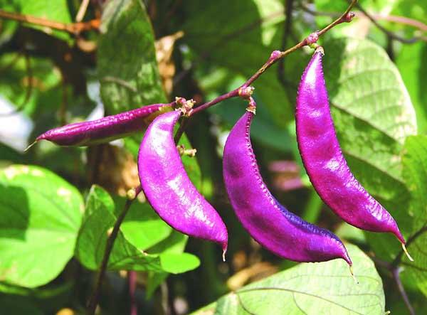 扁豆的营养价值