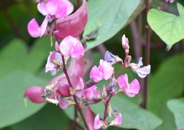 扁豆种植技术