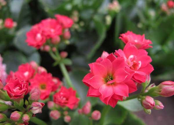 长寿花有毒吗?
