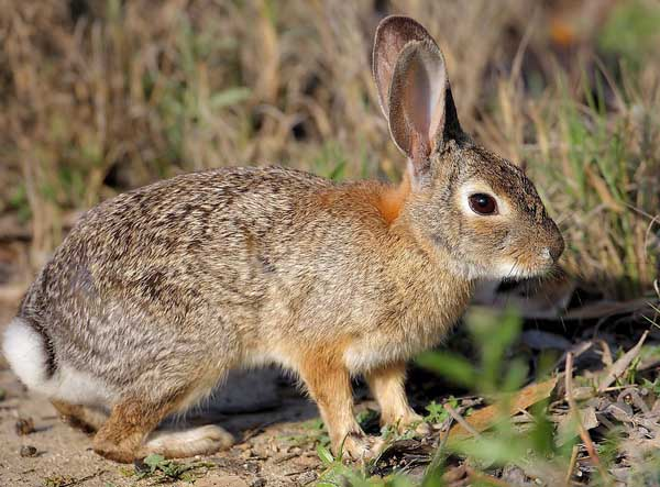 野兔春季如何保温防寒?
