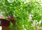 铁线蕨的养殖方法