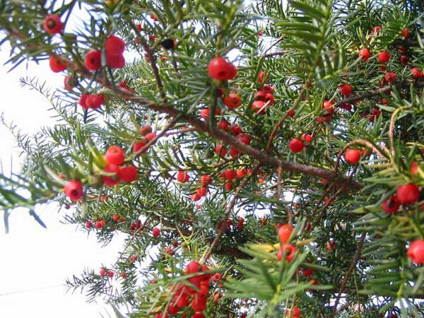 紅豆杉的產地有哪些?