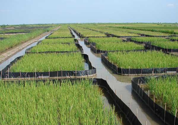 怎样利用稻田高效养殖螃蟹?
