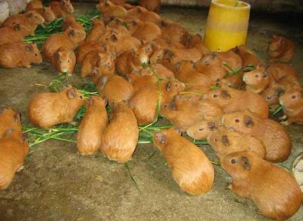 黄豚养殖技术