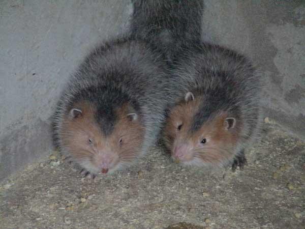 现在农村养殖竹鼠赚钱吗?