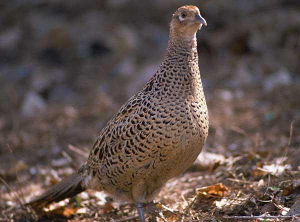 山鸡的繁殖特性