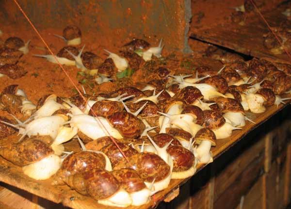 白玉蜗牛常见疾病防治技术