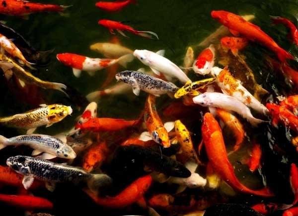 观赏鱼的种类有哪些?