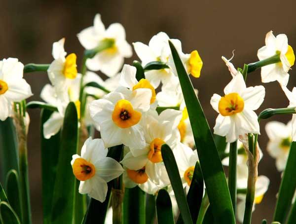 水仙花的花语和传说