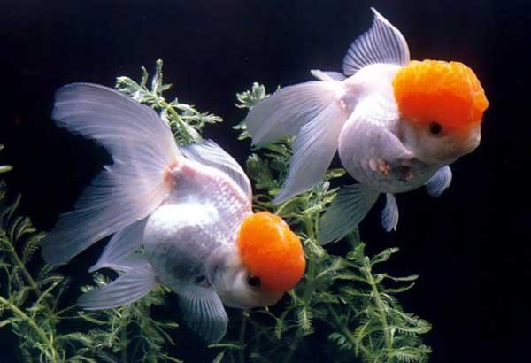 金鱼怎么养最好?