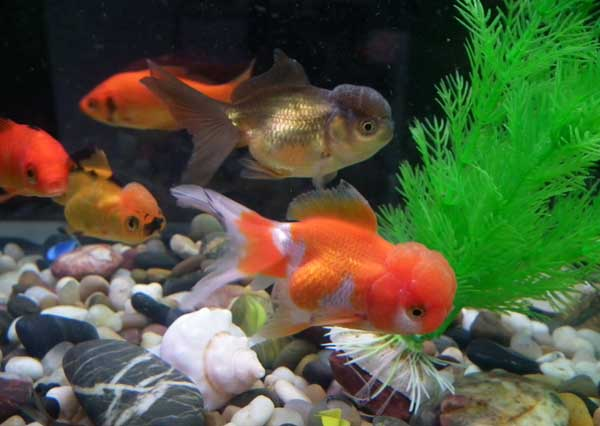金鱼的品种有哪些?