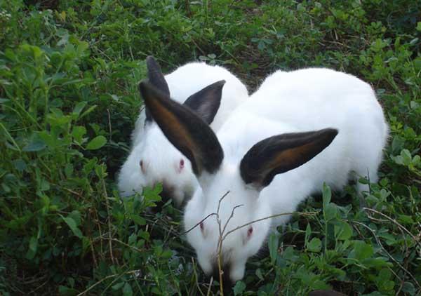 肉兔养殖前景
