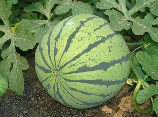 孕妇可以吃西瓜吗?