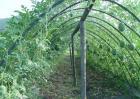 冬季西瓜种植育苗技术