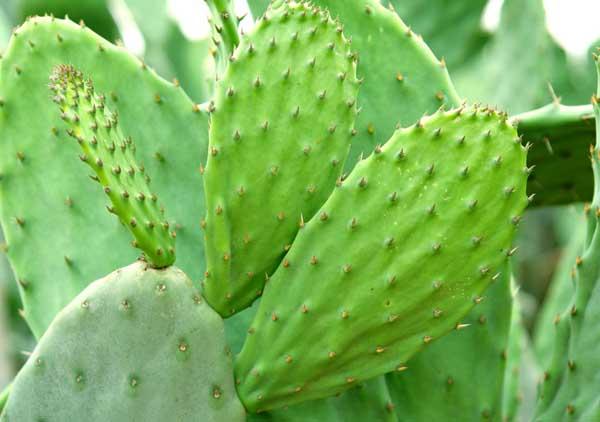 仙人掌是比较常见的植物,但是你知道仙人掌的作用有哪些吗?仙人掌性味苦寒、无毒,既可食用,也能作药用,主要有清热解毒,散瘀消肿,行气活血,健胃止痛,等功能。此外,仙人掌可以去除皮肤的厚角质层,有美白肌肤的效果,刺芽果有清热解毒的功效,而牛皮癣患者一部分患者由于内分泌失调,毒素淤积体内因此,仙人掌治疗牛皮癣有一定的辅助效果。 仙人掌的作用主要体现在药用价值、食用价值、美容价值和美化环境等几个方面,下面就请大家跟随我们的小编一起来了解一下仙人掌的这些作用吧!