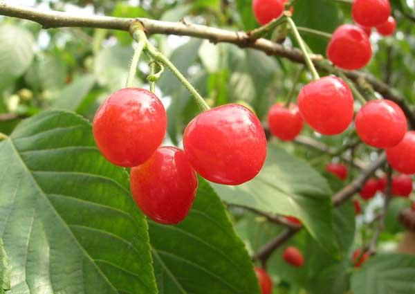 大樱桃的种植技术