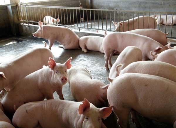 猪气喘病的防治技术