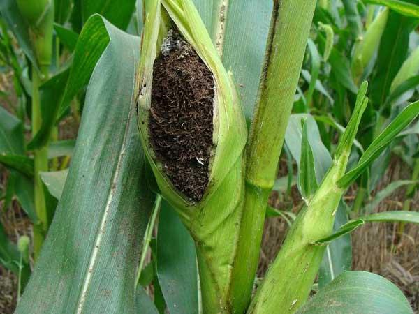 玉米丝黑穗病