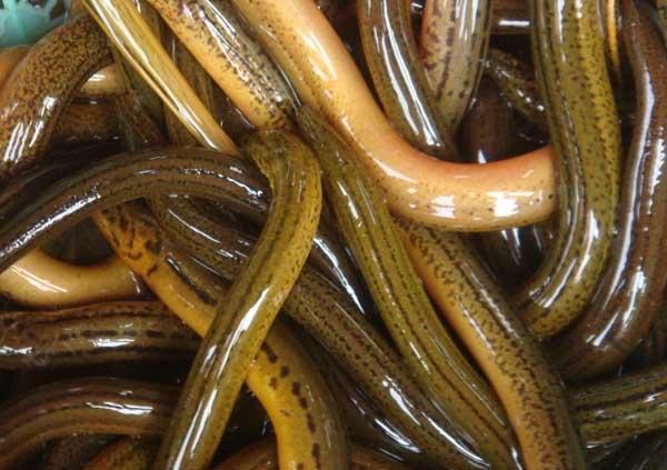 黄鳝痉挛病的防治技术