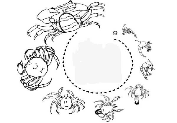 河蟹大眼幼体的生活习性