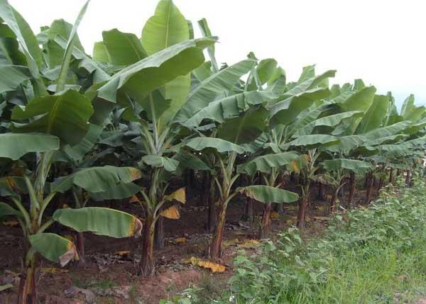 香蕉的栽培技术