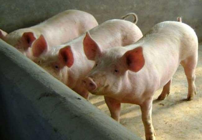 贵州今日生猪价格