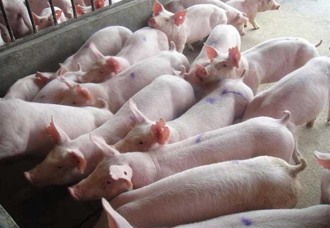 贵州仔猪价格