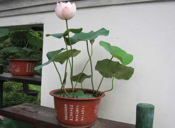 碗莲的种植方法