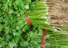 香菜的种植方法