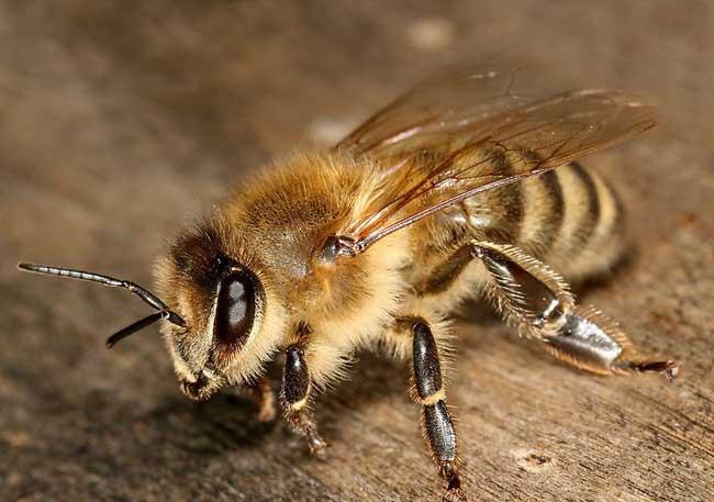 意大利蜂图鉴
