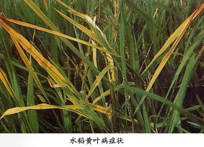 水稻黄矮病