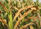 玉米青枯病