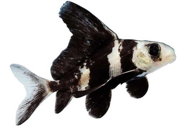 胭脂鱼的人工繁殖技术