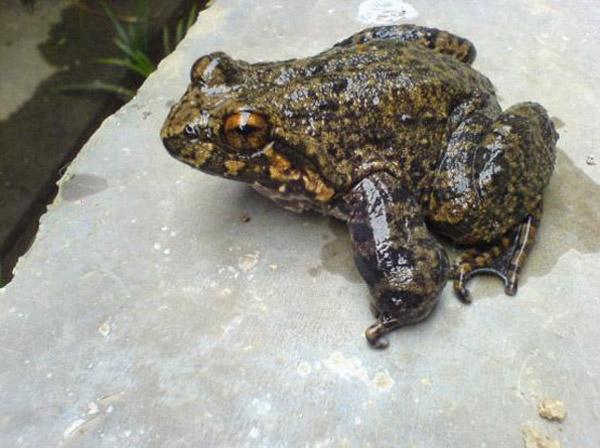 石蛙蝌蚪吃什么_石蛙的营养价值?